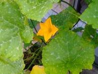 カボチャの花.jpg